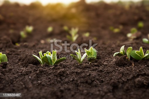 The first sprouts of a soybean plant stretch toward the sun in an agricultural field. Young soybean crops during the period of active growth.