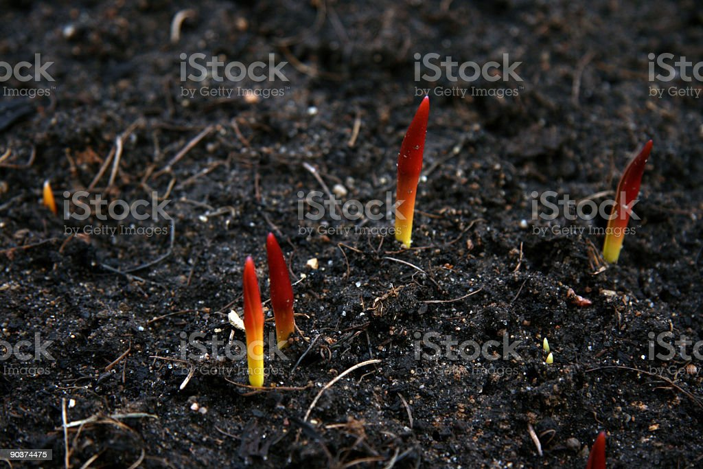 The first tulips royalty-free stock photo