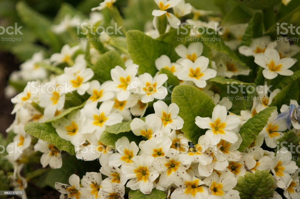The first white spring flowers of the gentle primrose Lizenzfreies stock-foto