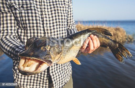 914030378 istock photo The fisherman is holding a fish pike caught on a hook 914030390