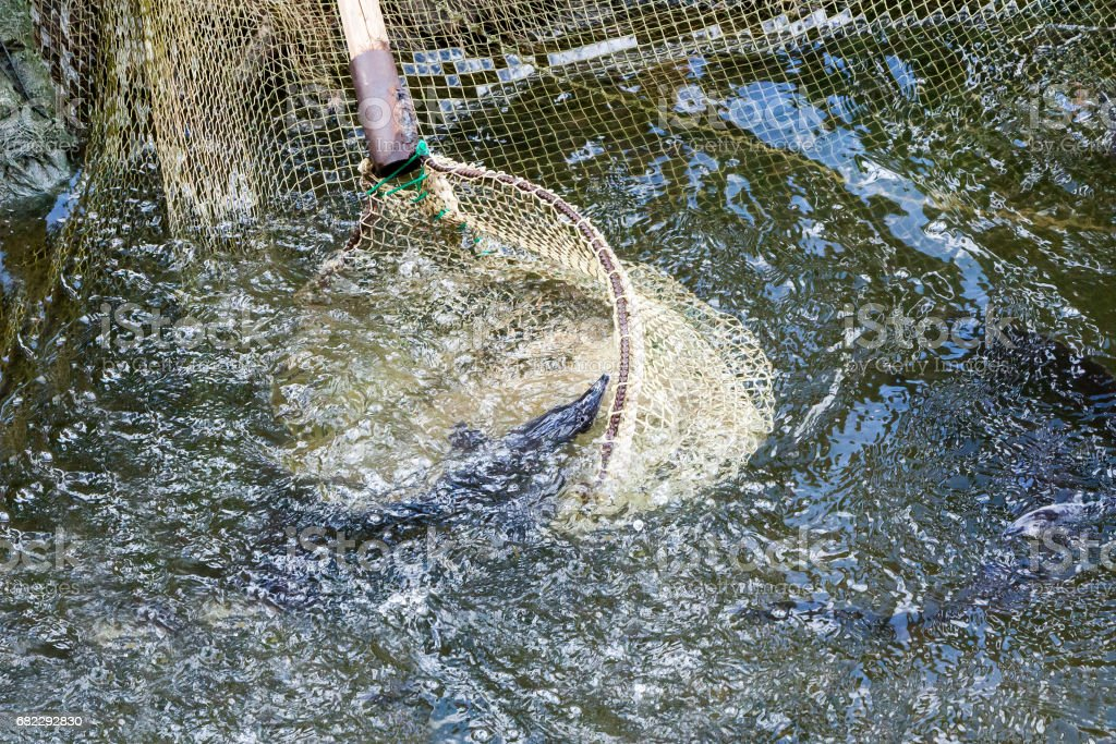 the fisherman pulls out trout a net from pond stock photo
