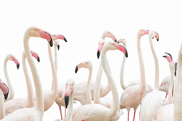 The flamingos on white picture id619667554?b=1&k=6&m=619667554&s=612x612&w=0&h=vo6 aghqxxy5z58v7yvx3 7cjtu42sfh8bntigeikdi=