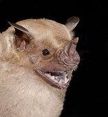 istock The flat-faced fruit-eating bat 1212609650