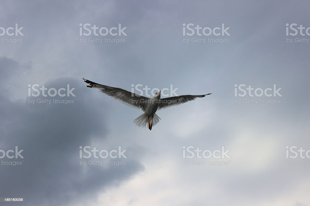 The flight of cormorants in stormy weather stock photo