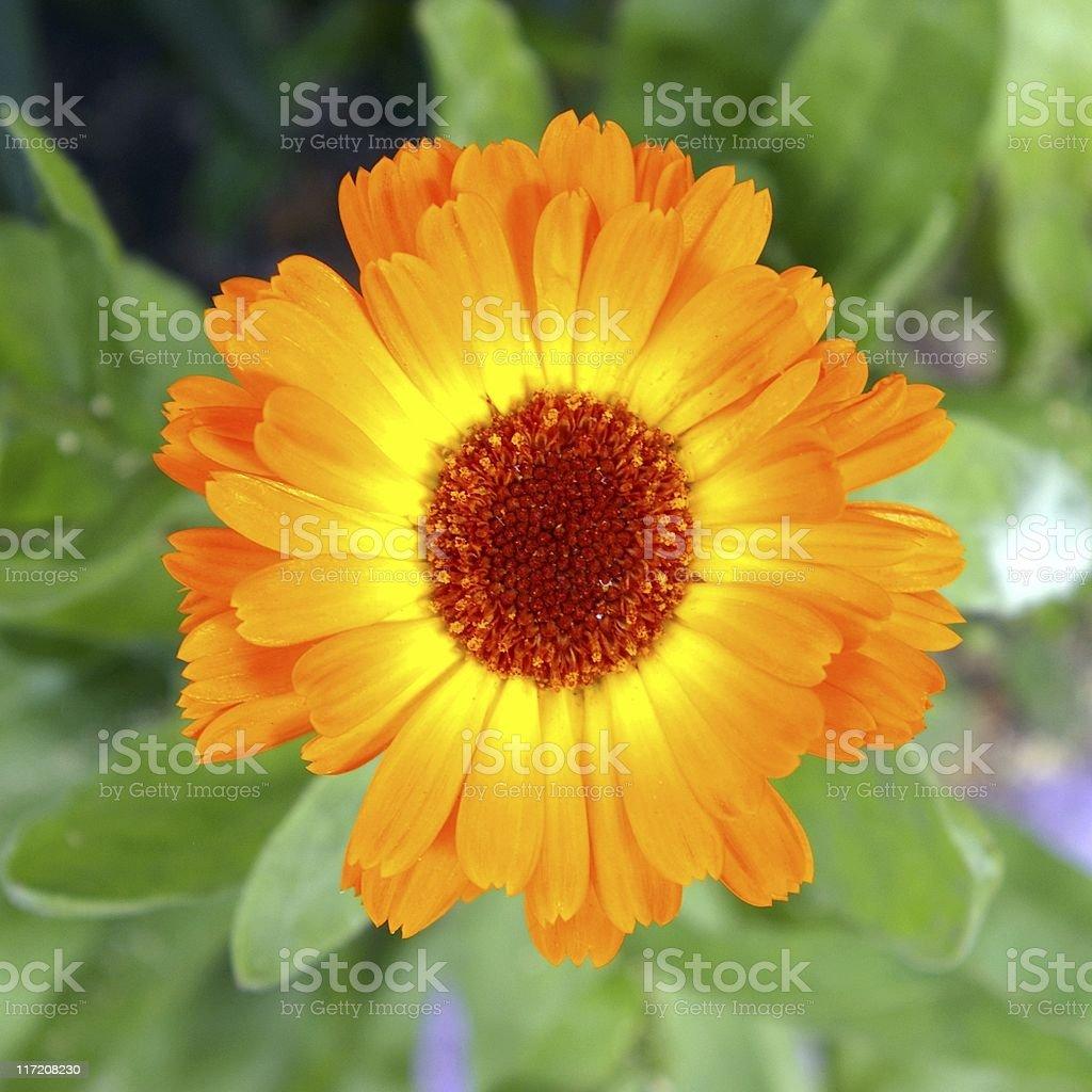 The Flower calendula. royalty-free stock photo