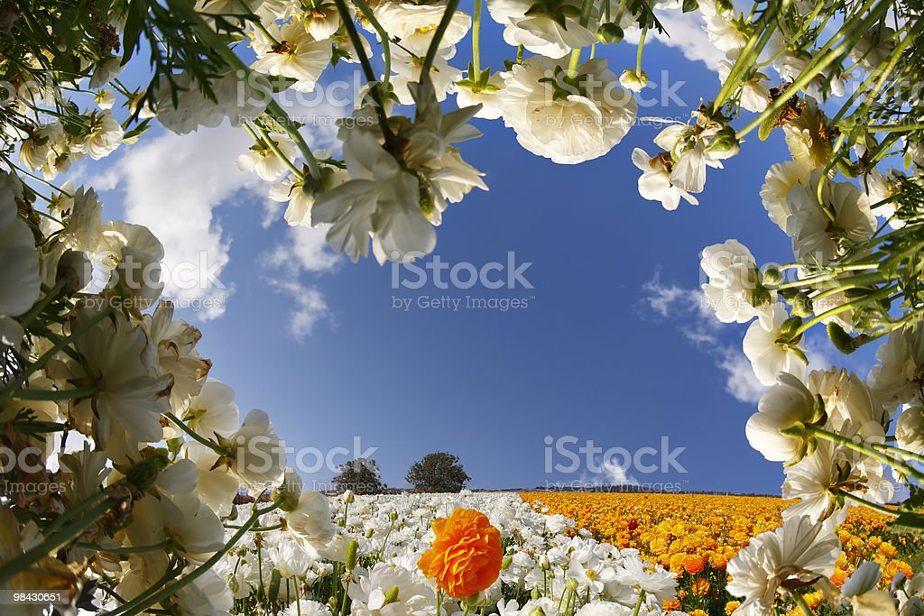 The flower field royalty-free stock photo