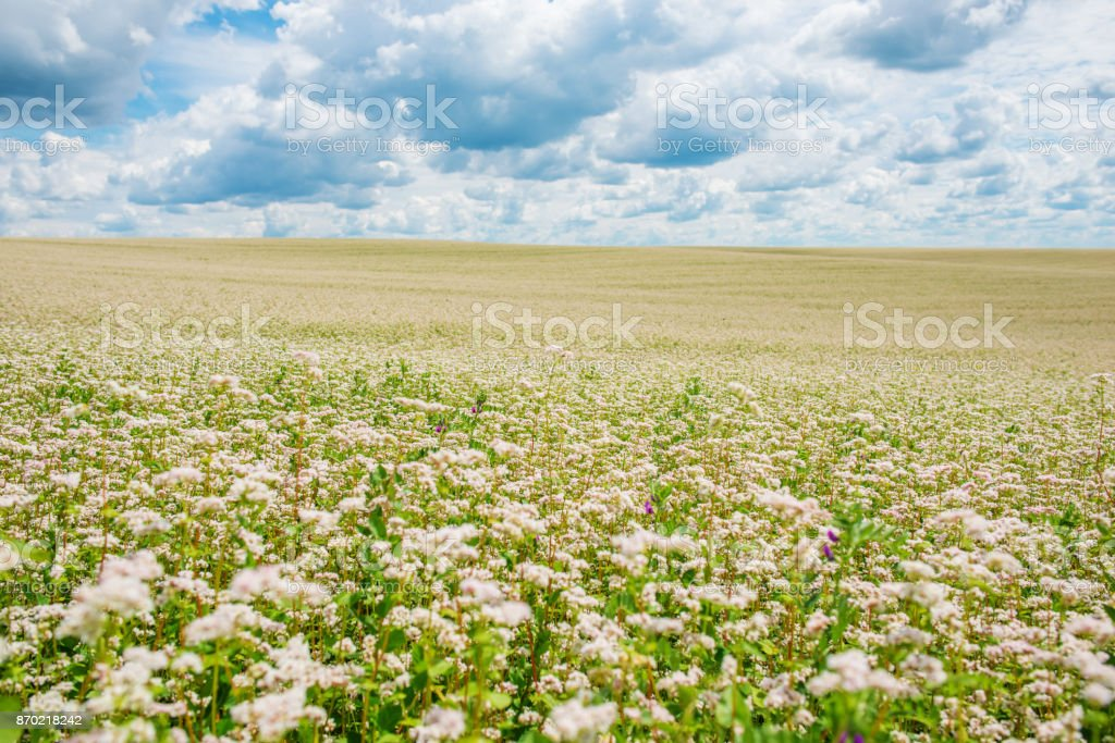 The flower garden of buckwheat noodles, and a view stock photo