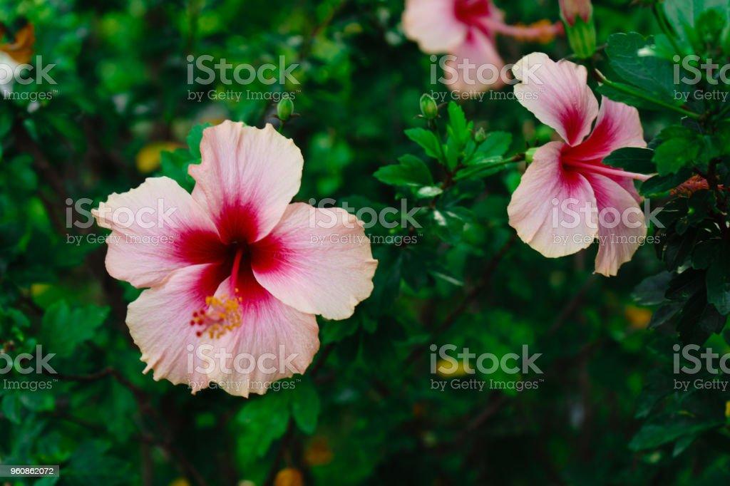 die Blume ist schön Rosa im Outdoorpark in Thailand. - Lizenzfrei Baum Stock-Foto