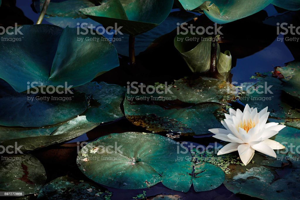 The flower of a white lotus. royalty-free stock photo
