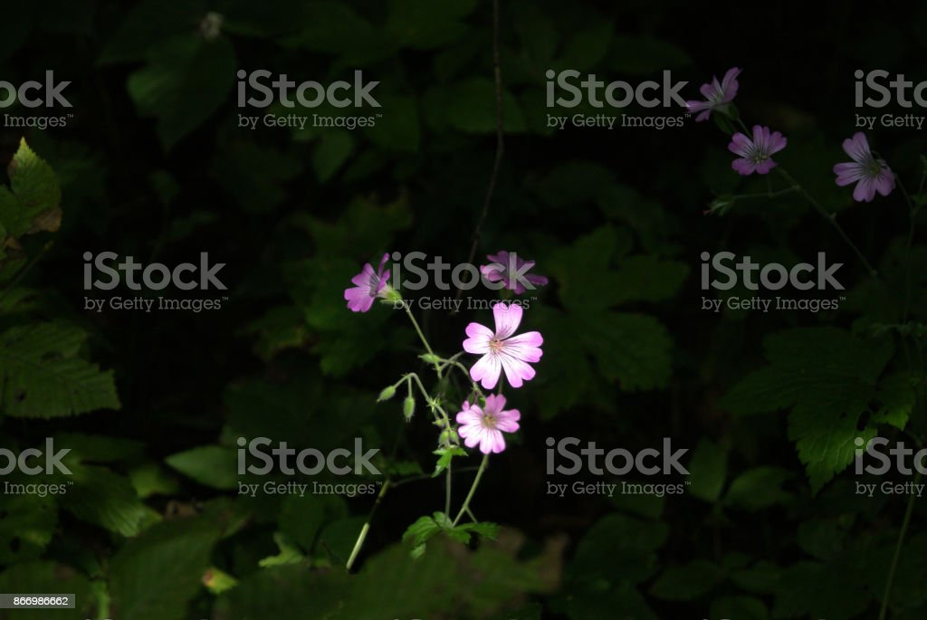 The flower of geranium stock photo