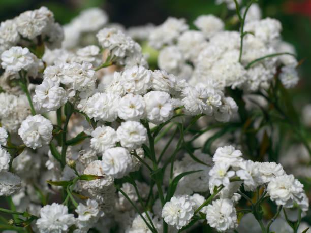 The flower of white wild litle carnations in the garden picture id807491220?b=1&k=6&m=807491220&s=612x612&w=0&h=bmogds tbxr6x1k8yka9luzjqdkhzpqb5svp7k  lvi=