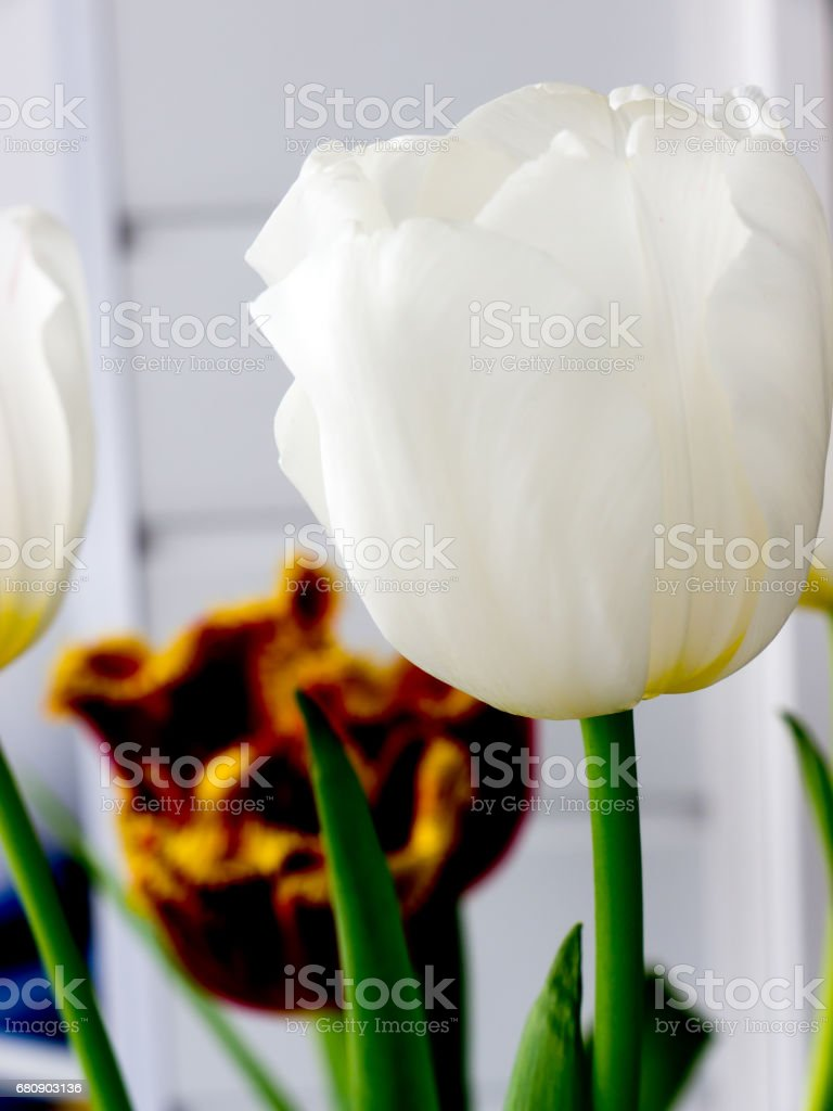 The flower tulip. royalty-free stock photo