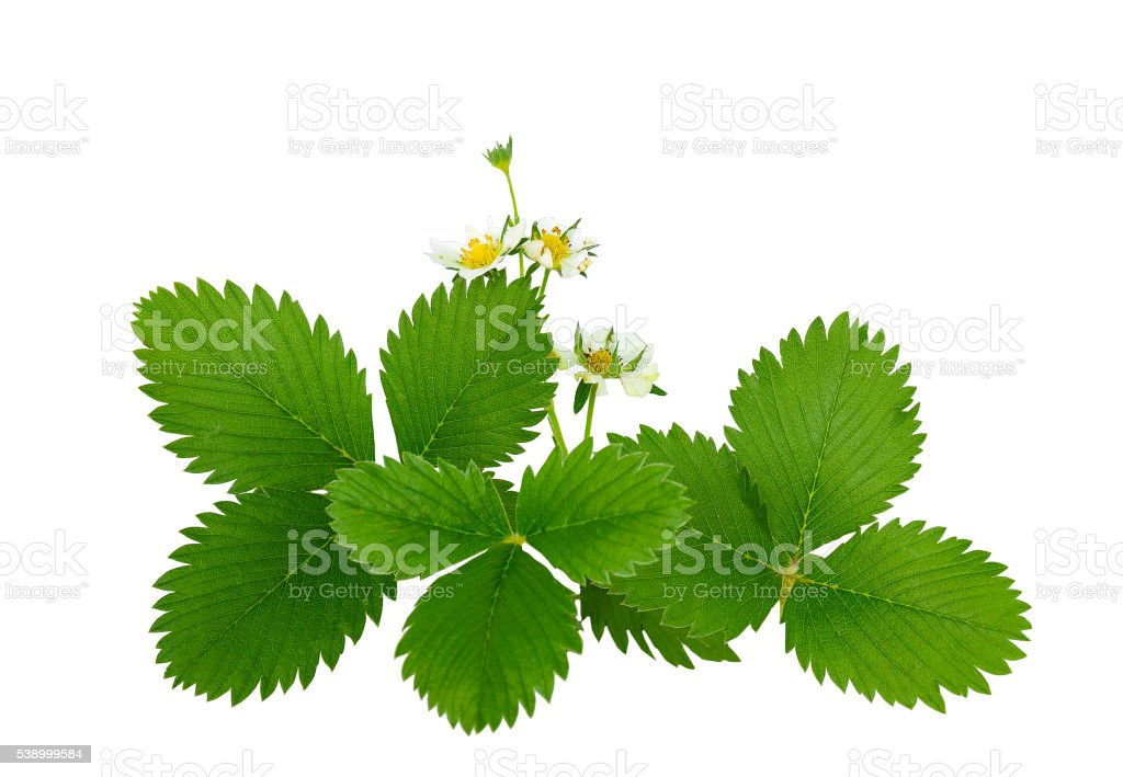 The flowers and leaves of wild strawberry, isolated without shadow. stock photo