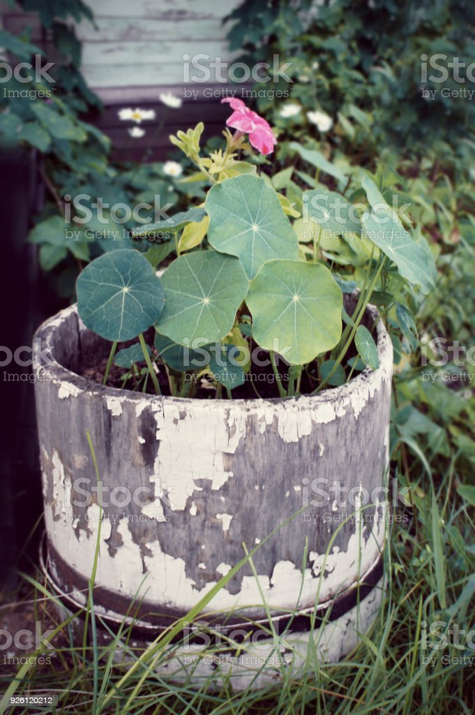 The flowers are petunias and nasturtiums in a stylish antique wooden barrel in the garden. (Petunia, Tropaeolum) stock photo