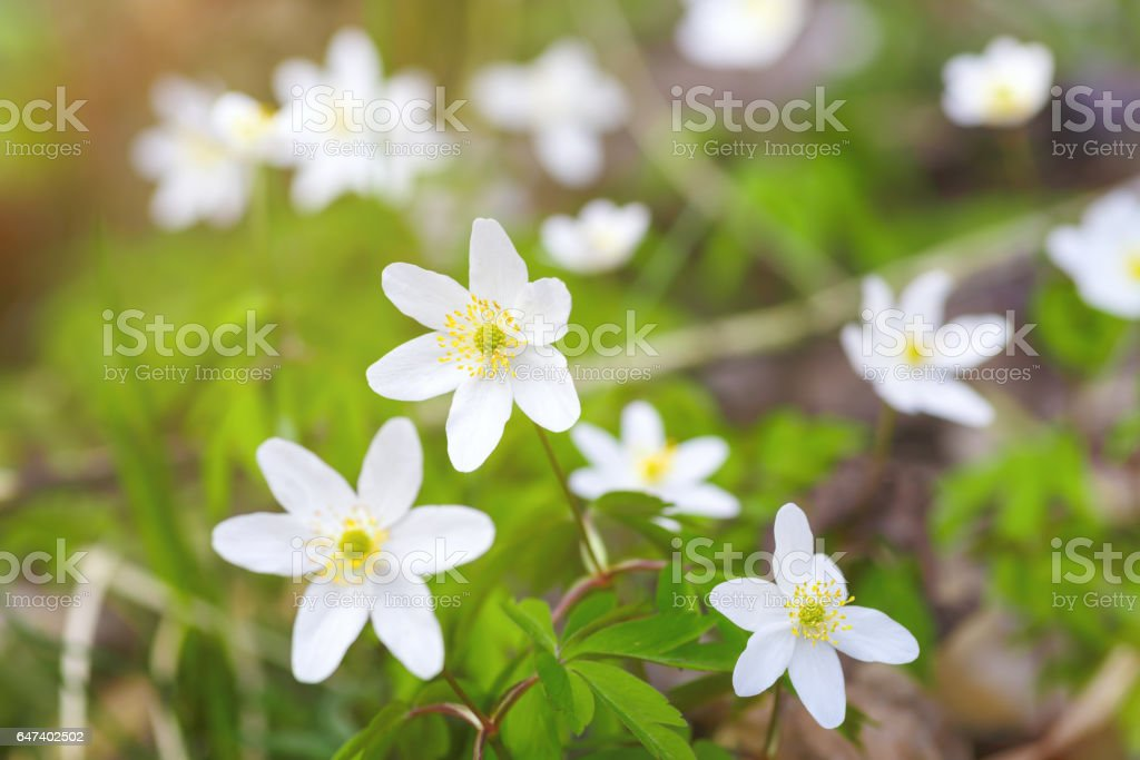The flowers are white snowdrops stock photo