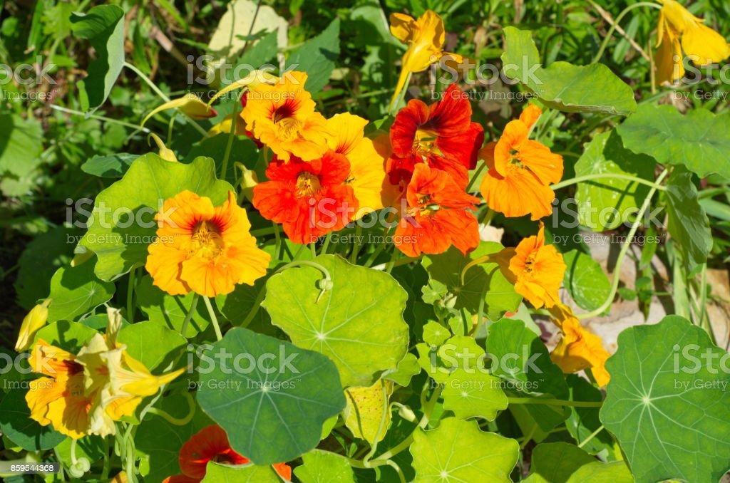The flowers are yellow and orange nasturtiums stock photo