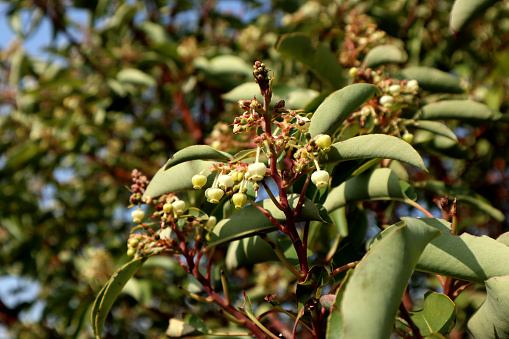 The flowers of a western strawberry tree on the Mediterranean Sea