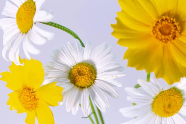 Las flores de la manzanilla - foto de stock