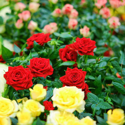 The flowers of the cordana rose are grown in the greenhouse of the store for home gardening
