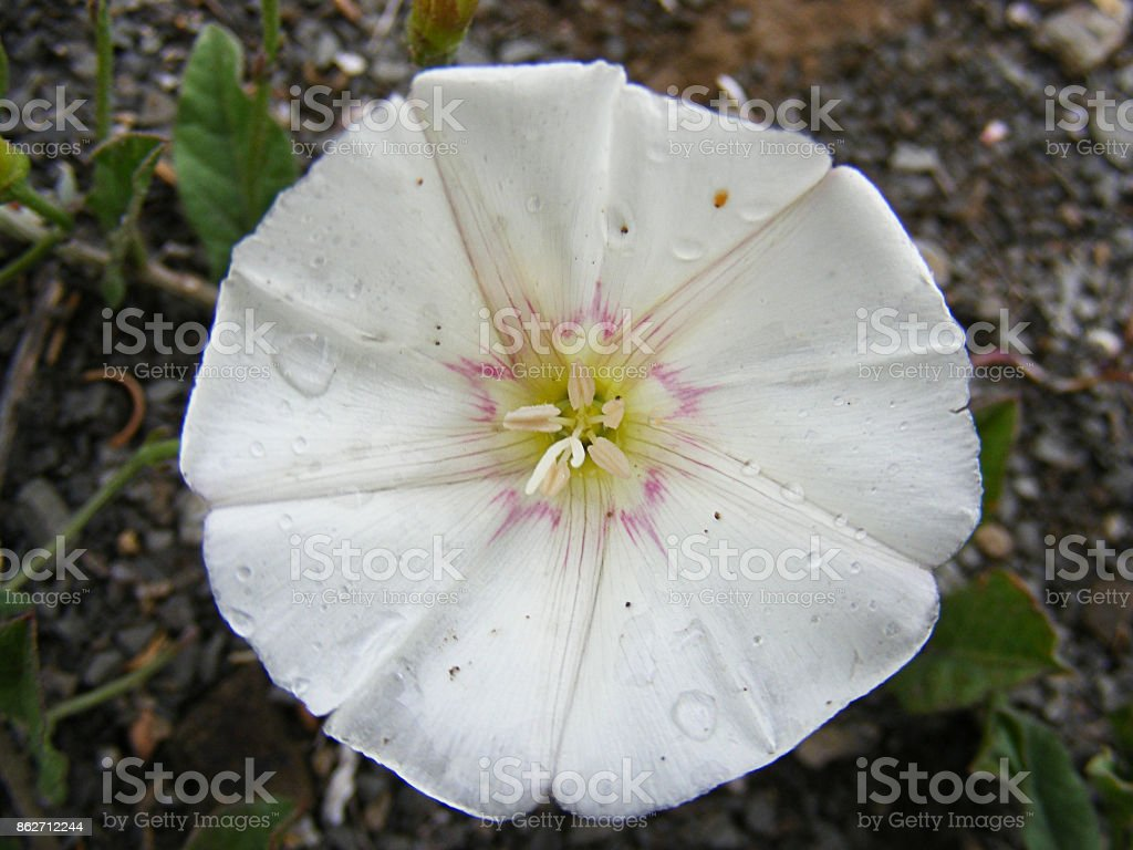the flowers of the white ivy plant, the most natural white ivy flowers, stock photo