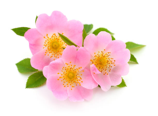 The flowers of wild rose The flowers of wild rose isolated on white background. dog rose stock pictures, royalty-free photos & images