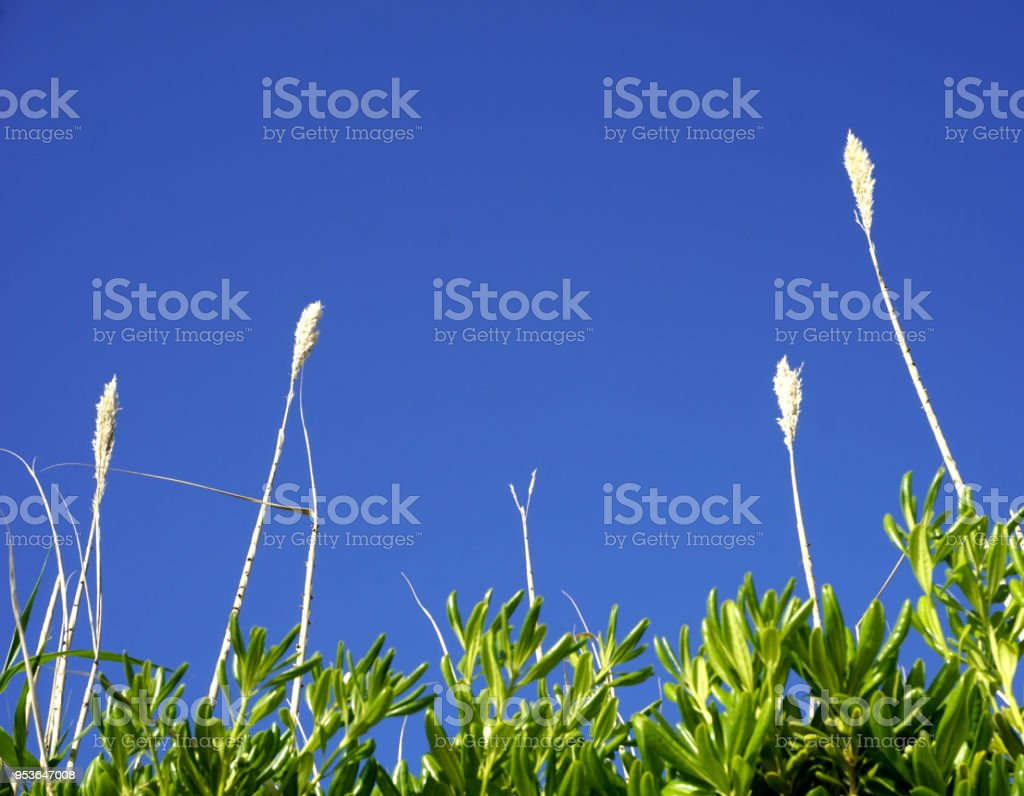 The flowers on top of the big reed grass and green leaves of Mediterranean plant Myrtus communis, myrtle, with sky in turquoise blue color. Colorful nature background stock photo