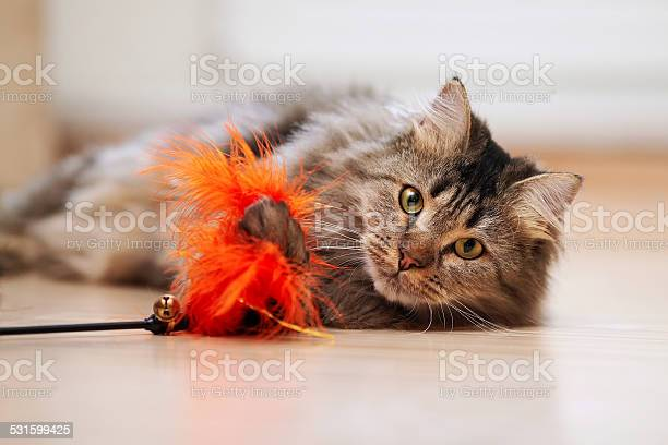 The fluffy cat plays with a toy picture id531599425?b=1&k=6&m=531599425&s=612x612&h=8lze14jzoy0efba7zuvcevii81qqr6atgtpj wkl6pm=