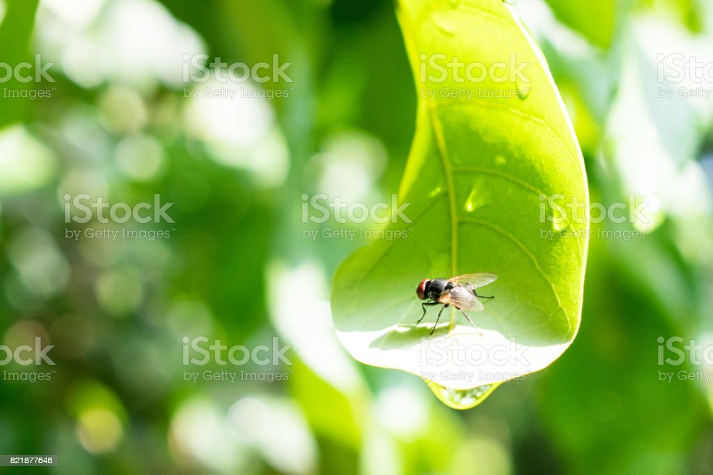 The fly on the leaf is very bright green. stock photo