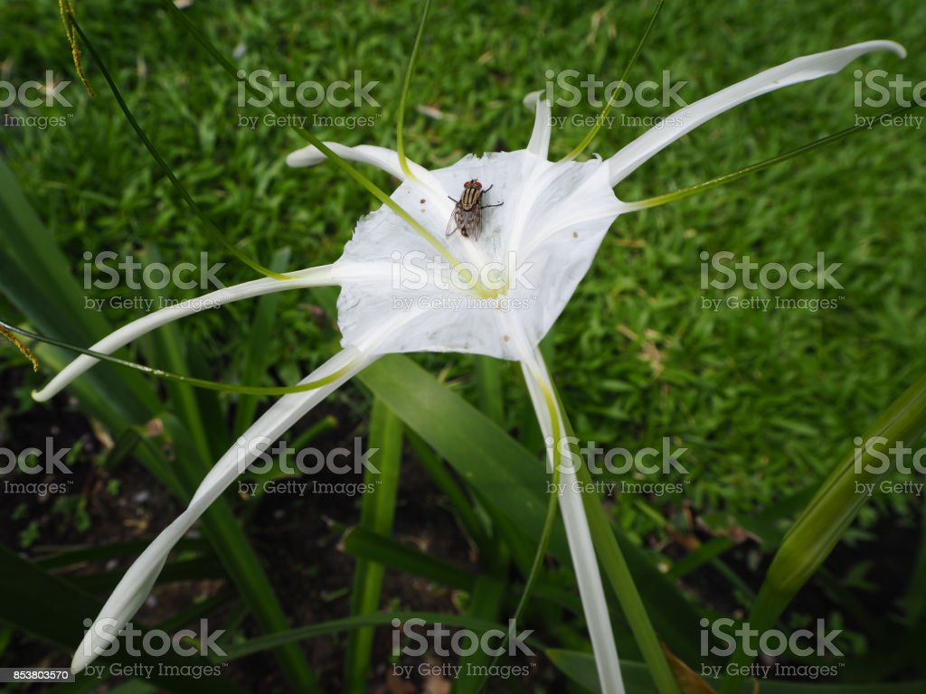 The fly on the spider lily flower stock photo more pictures of the fly on the spider lily flower royalty free stock photo izmirmasajfo
