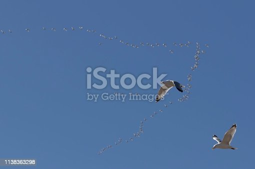 The Flying gull. Tundra swans migrating to the north