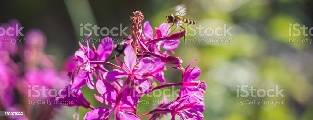 The flying wasp for pollination of flowers zbiór zdjęć royalty-free