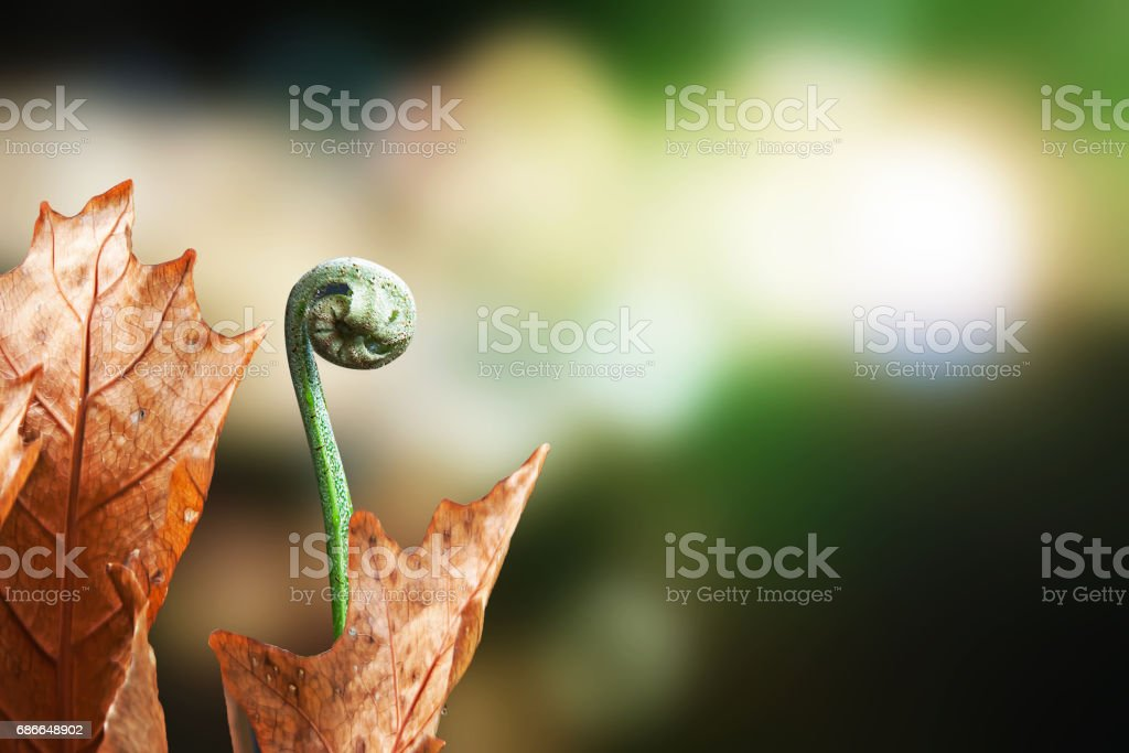 The foliage frond and the sterile nest fronds of the basket Fern. royalty-free stock photo