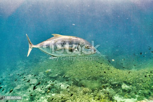 One Yellowtail Trevally (Alectis ciliaris). Also known as Scad or Jack fish and found throughout the Indo-Pacific region.  It is displaying its natural behaviour and hunting on a shallow coral reef.  Feeding on a massive shoal of Bigeye Snapper (Lutjanus lutjanus).   Juveniles as seen here, have black stripes, adults can grow up to 4ft.  The location is Phi Phi islands, Krabi Province, Thailand.