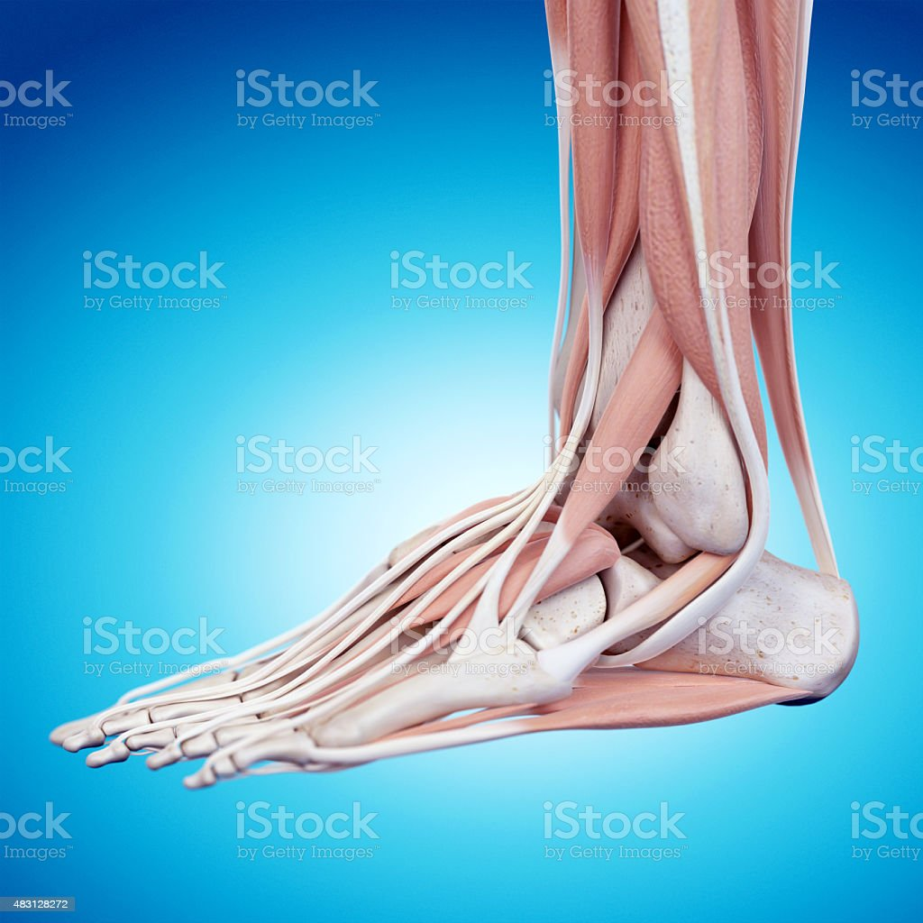 the foot anatomy stock photo