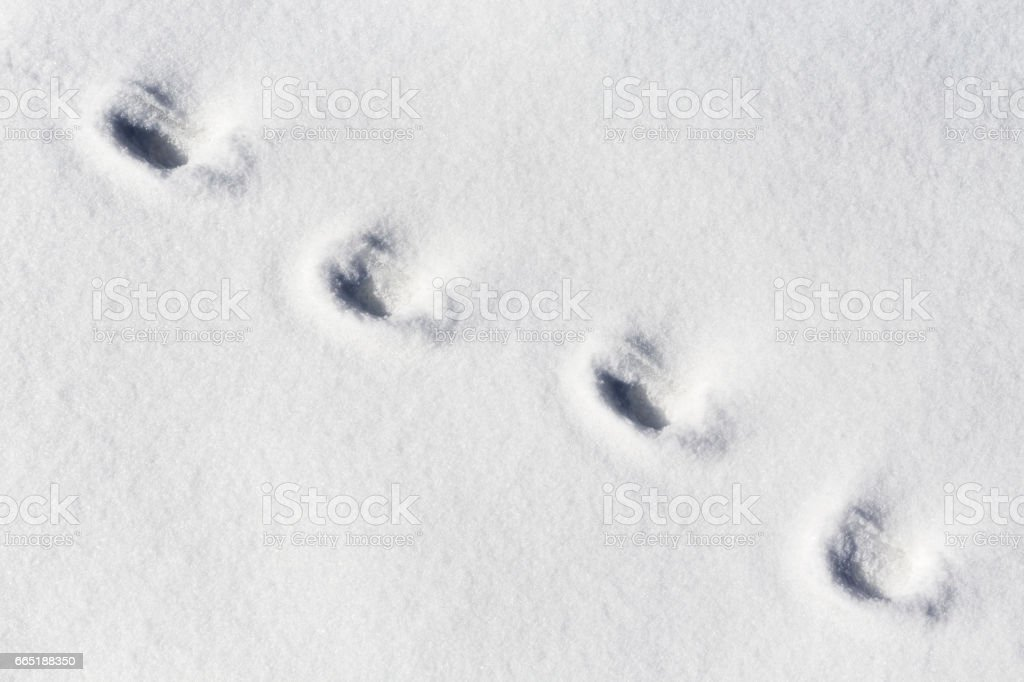 The footprints of a domestic or a wild animal on the snow stock photo