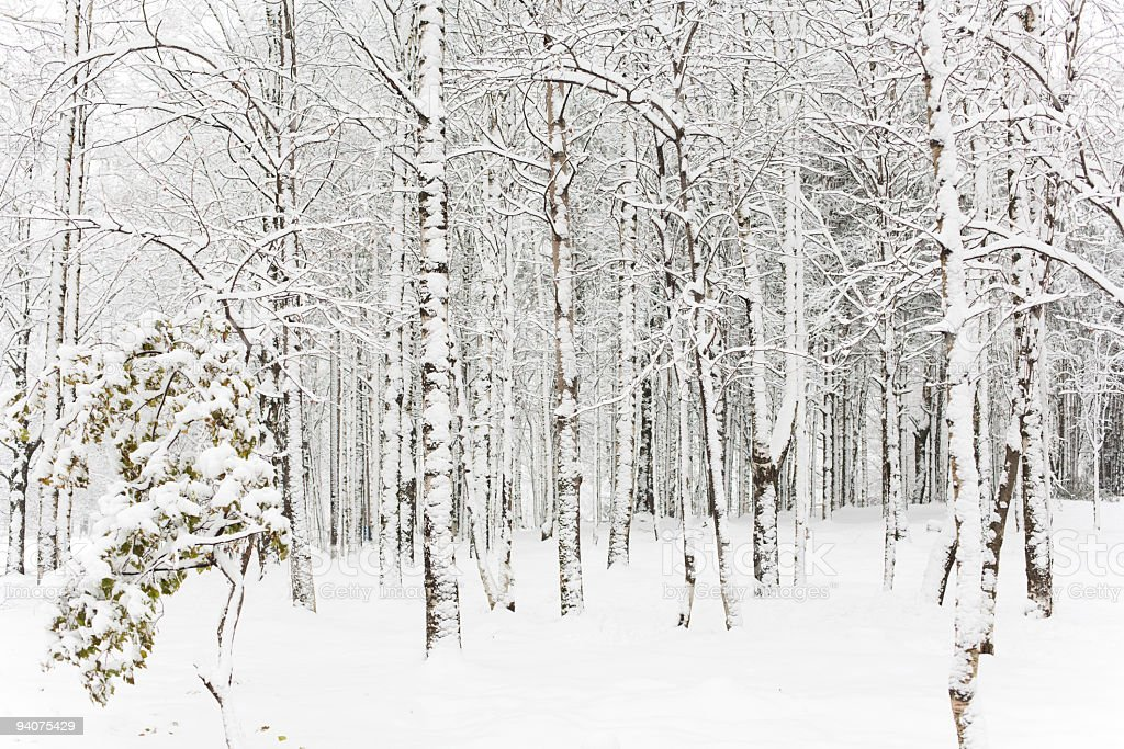 The forest after a large snowstorm stock photo