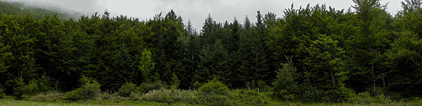 The Forest Border: firs and deciduous trees. A line of firs and deciduous green trees of a temperate forest. treelined stock pictures, royalty-free photos & images