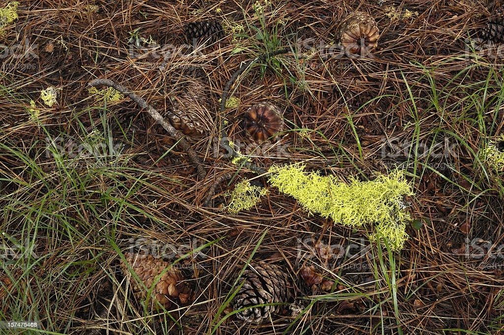 El bosque tierra con los tonos verde musgo, bastones y conos de pino. - foto de stock