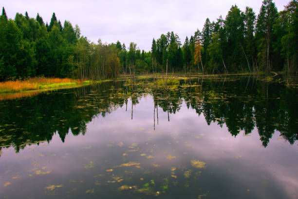 The forest river is blocked by an artificial dam. A small lake was formed from the flood. The ecological balance is disturbed by man. Northern forests, taiga stock photo