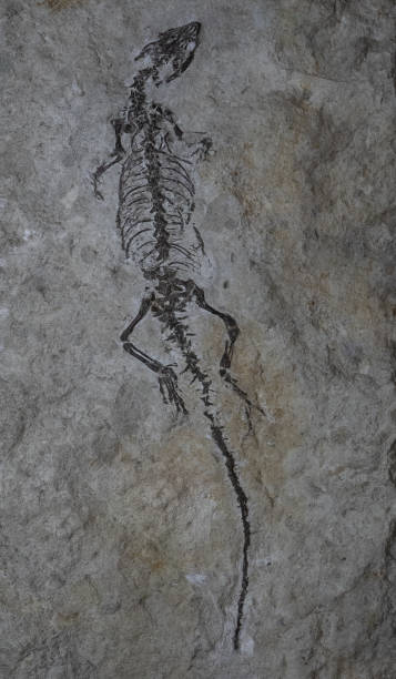 The fossil of ancient reptile in a rock stock photo