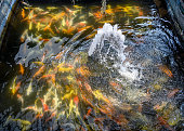 The fountain streaming with colorful koi fish swimming in pond