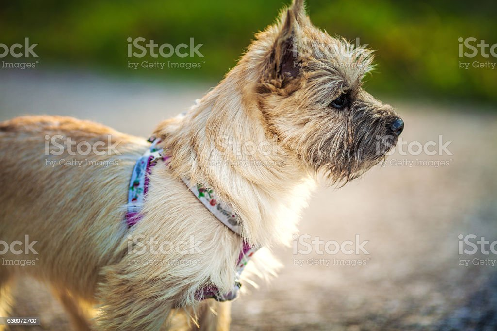The Four Month Old Puppy Cairn Terrier Stock Photo & More Pictures of Adult