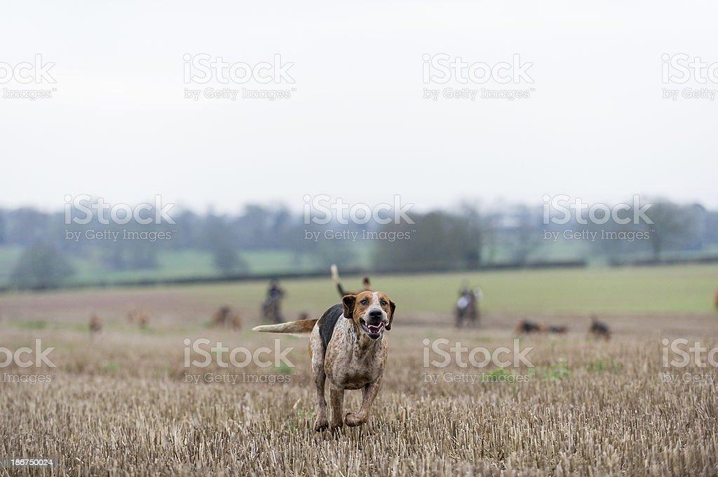 the Fox hunt stock photo