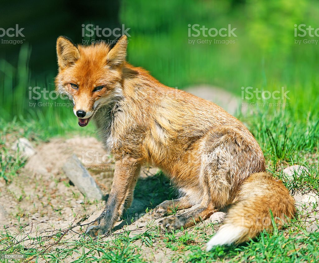 The fox on a glade poses for the photographer. stock photo