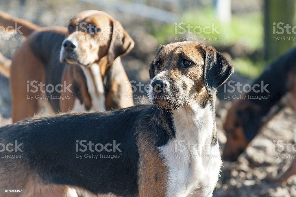 The Foxhound stock photo
