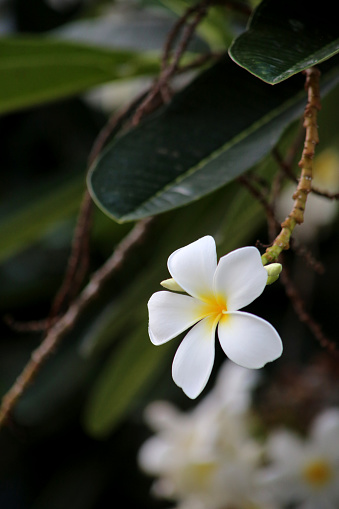 istock The frangipani is an iconic tropical tree bearing clusters of colourful and scented flowers during the warmer months of November through to April. 1222777140