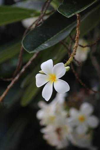istock The frangipani is an iconic tropical tree bearing clusters of colourful and scented flowers during the warmer months of November through to April. 1222777141