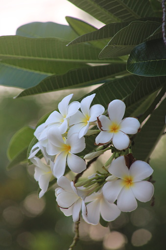 istock The frangipani is an iconic tropical tree bearing clusters of colourful and scented flowers during the warmer months of November through to April. 1222777160