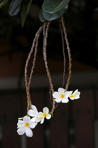 istock The frangipani is an iconic tropical tree bearing clusters of colourful and scented flowers during the warmer months of November through to April. 1222777165