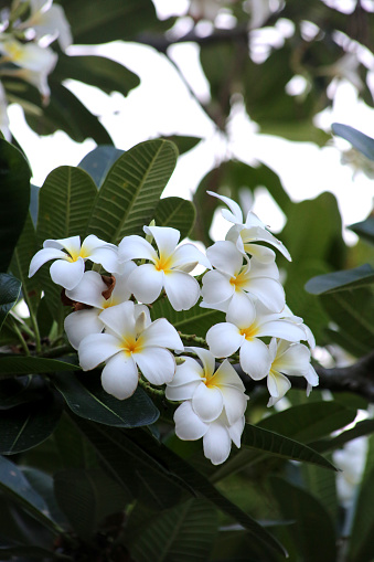 istock The frangipani is an iconic tropical tree bearing clusters of colourful and scented flowers during the warmer months of November through to April. 1222777170